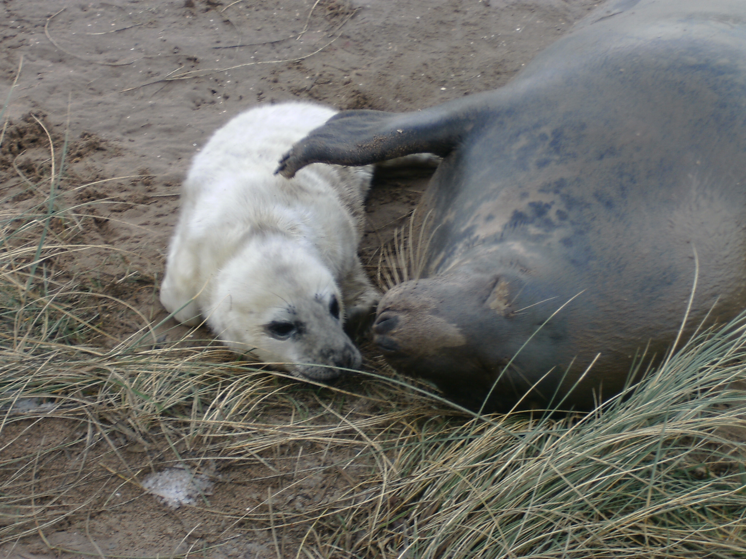 A mother seal looks after her pup at Donna Nook Nature Reserve.